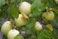 Антоновка: самое русское яблоко
