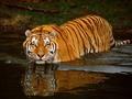 Интересные факты об амурских тиграх