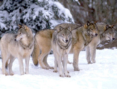Когда волк – товарищ…